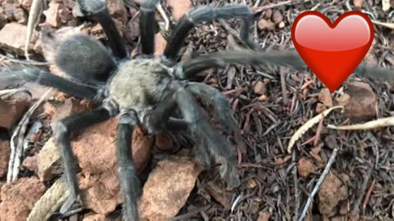 A tarantula crawls on Mt. Diablo on Wednesday, Sept. 20, 2017.