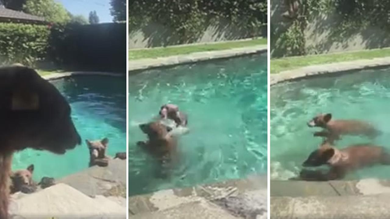 Bears are seen inside a pool outside a home in Monrovia, California.