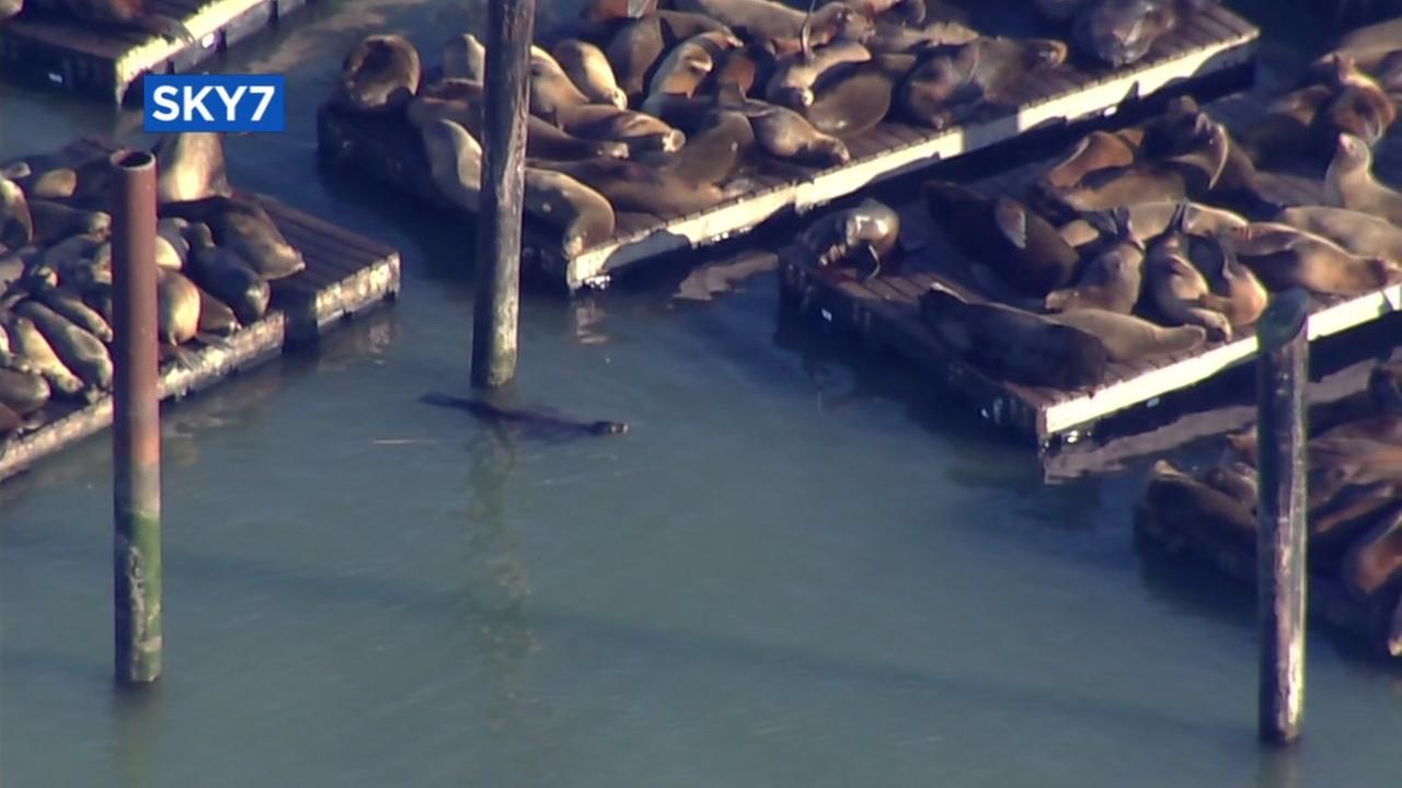Sea lions appear at San Franciscos Pier 45 on Thursday, Dec. 14, 2017.