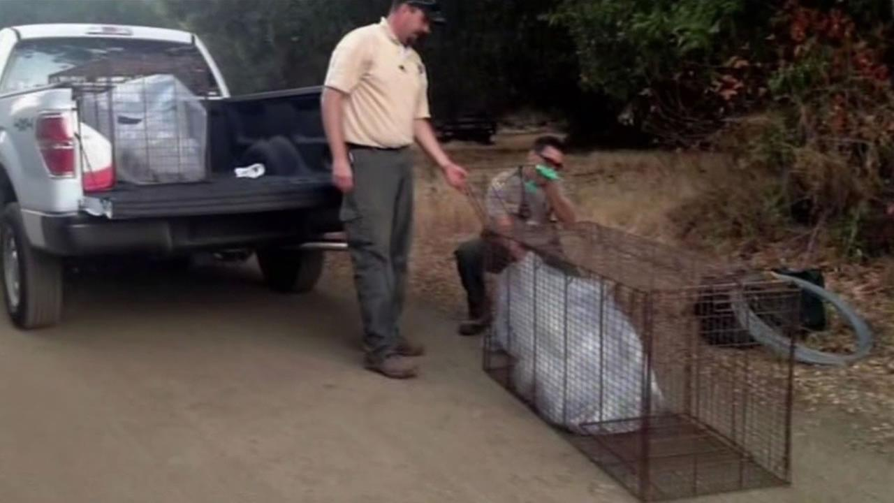Wildlife biologists lay traps for a mountain lion that attacked a young boy Sunday in Cupertino.
