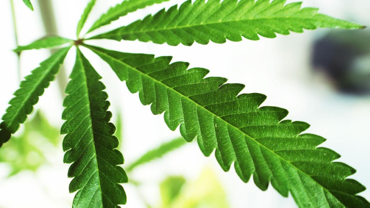 This undated file photo shows a marijuana leaf.