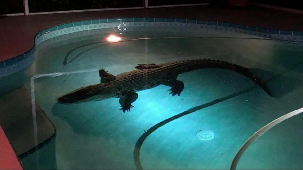 An alligator is seen floating in a pool at a home in Sarasota, Fla. on Friday, March 30, 2018.