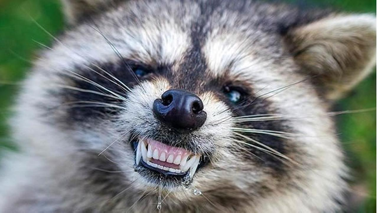 Zombie Raccoons Infected With Distemper Reported Across
