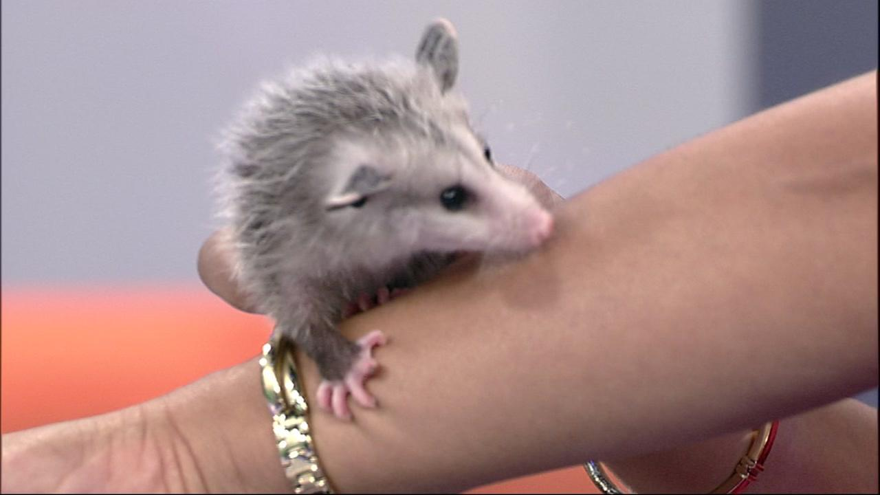 Pockets the possum says hello to ABC7 News anchor Ama Daetz in San Francisco on Thursday, May 3, 2018.
