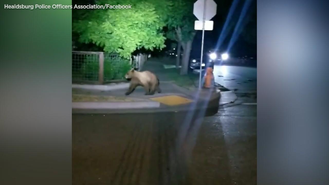 Black bear makes appearance in Healdsburg neighborhood