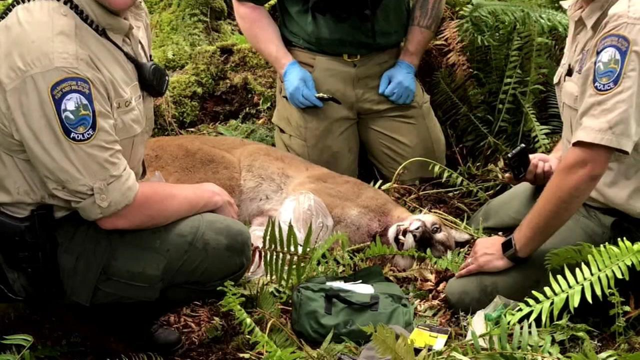 A mountain lion is seen in Washington State in this undated image after fatally attacking a cyclist.