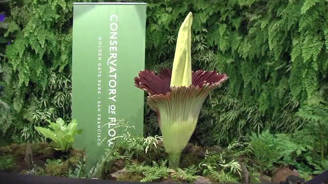 Corpse Flower at Conservatory of Flowers in San Francisco on Sunday, July 22, 2018.