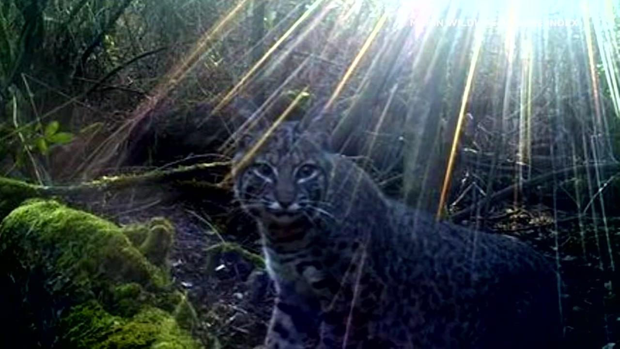A bobcat appears in a photo taken by the Wildlife Picture Index, which has hidden cameras on Mount Tamalpais in Marin County to document area wildlife.