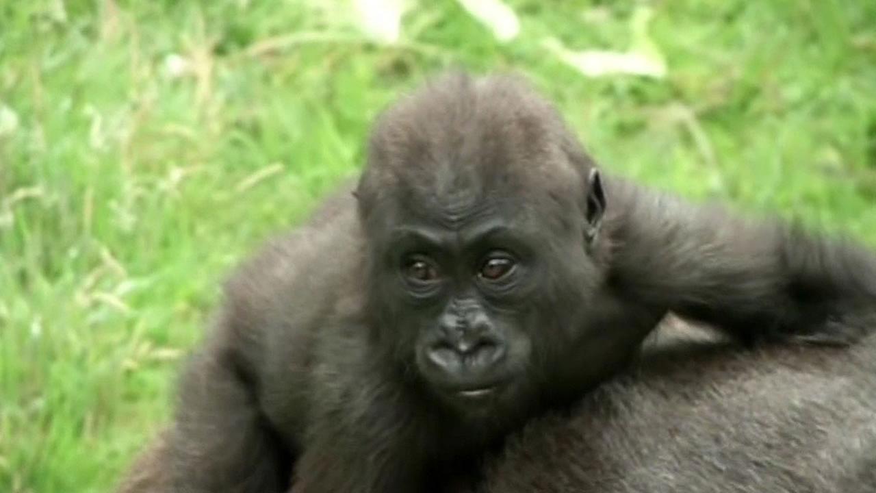 Kabibe the baby gorilla at the San Francisco Zoo