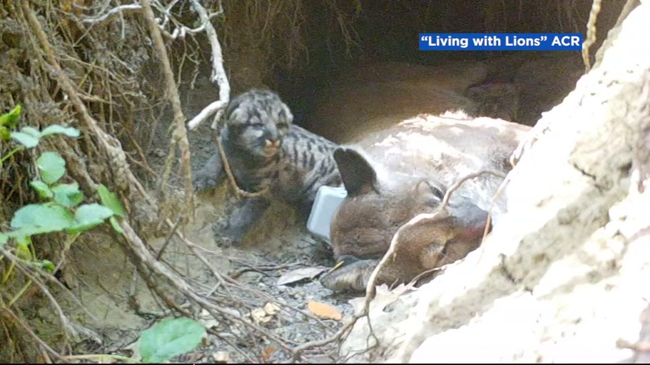 A mountain lion cub is seen in Sonoma County, Calif.
