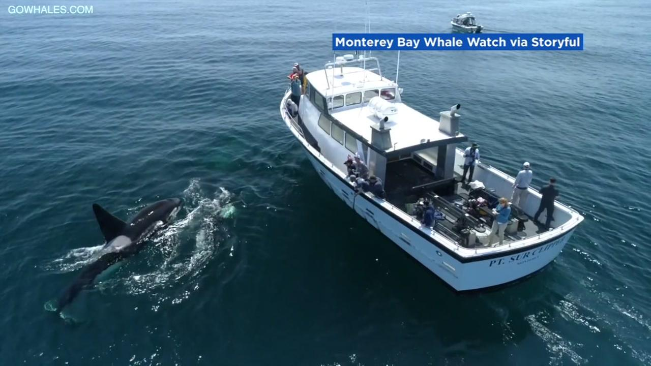 A killer whale puts on a show in Monterey Bay.