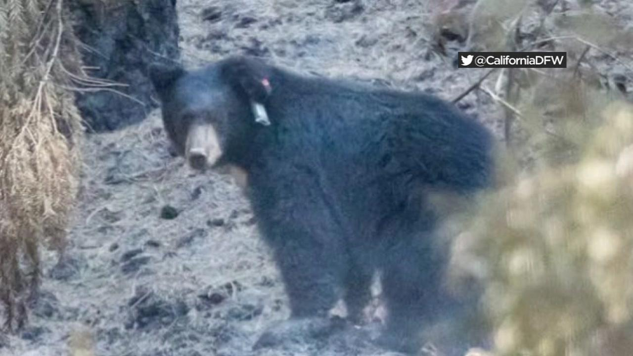 A bear is seen on Friday, September 14, 2018 after being released back into the wild following treatment for burns suffered in the Carr Fire.