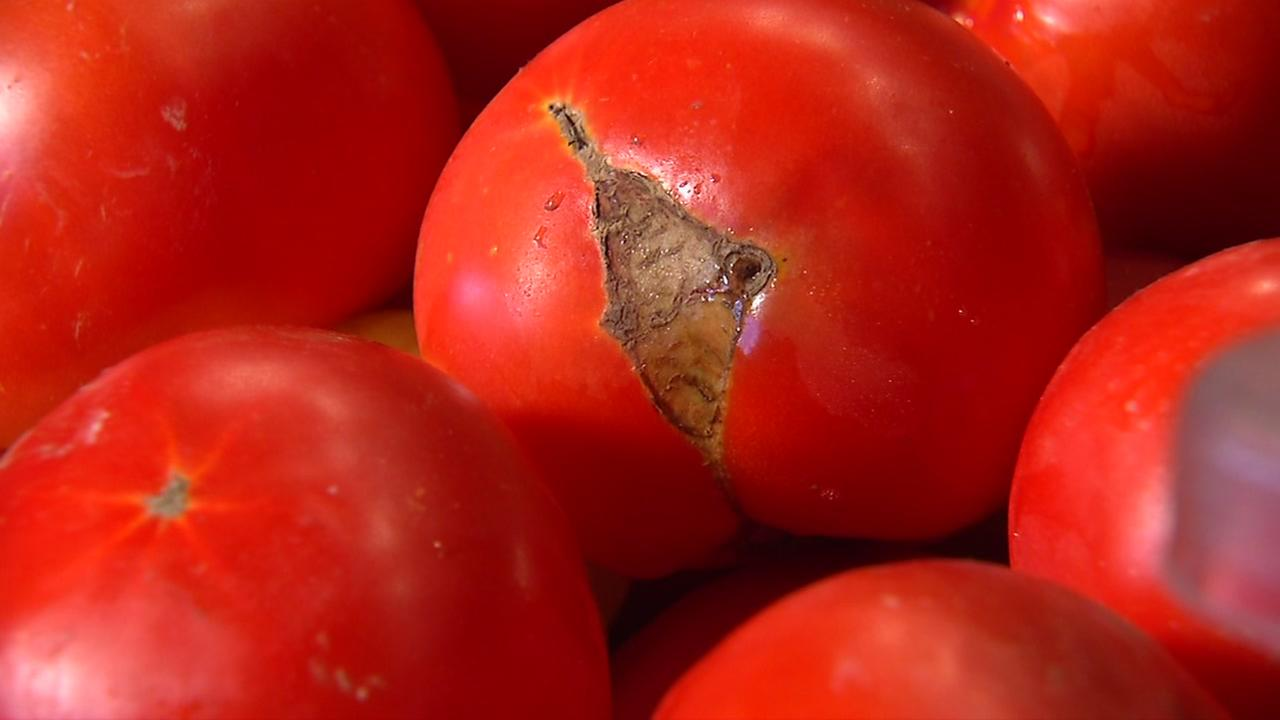 A blemished tomato is seen in this undated image.
