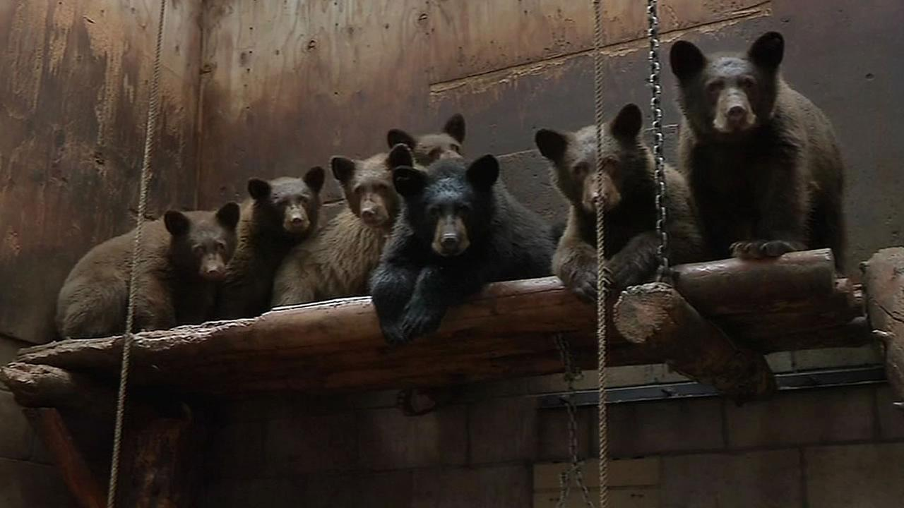 7 bear cubs at the Lake Tahoe Wildlife Care center