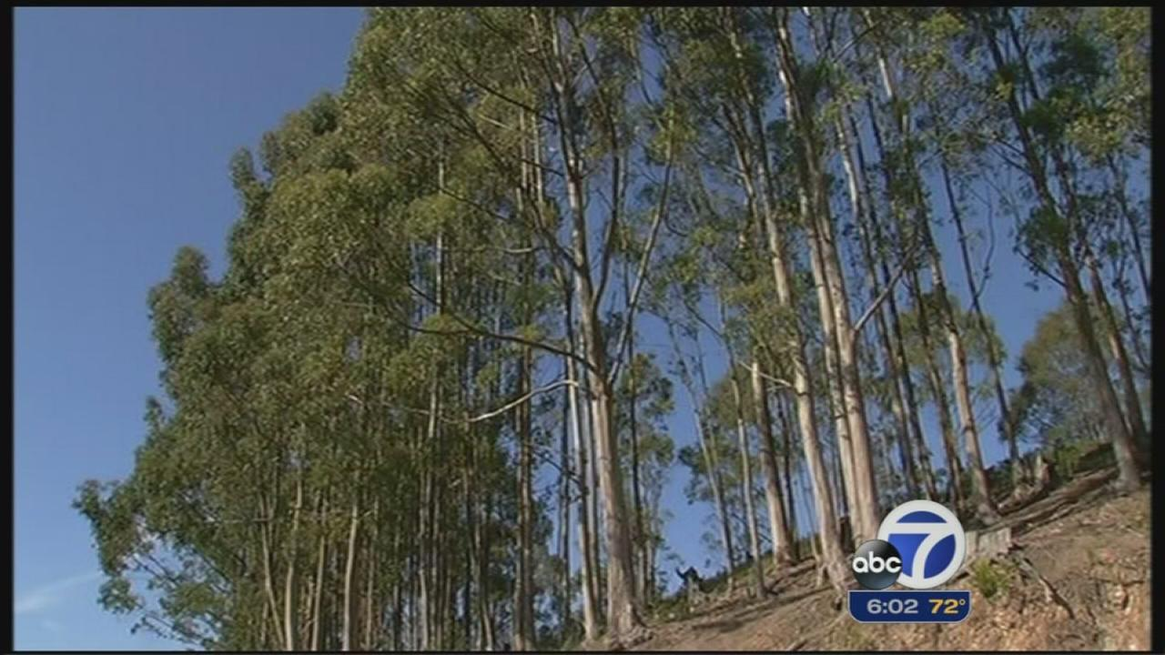 Fight over eucalyptus trees as fire danger looms
