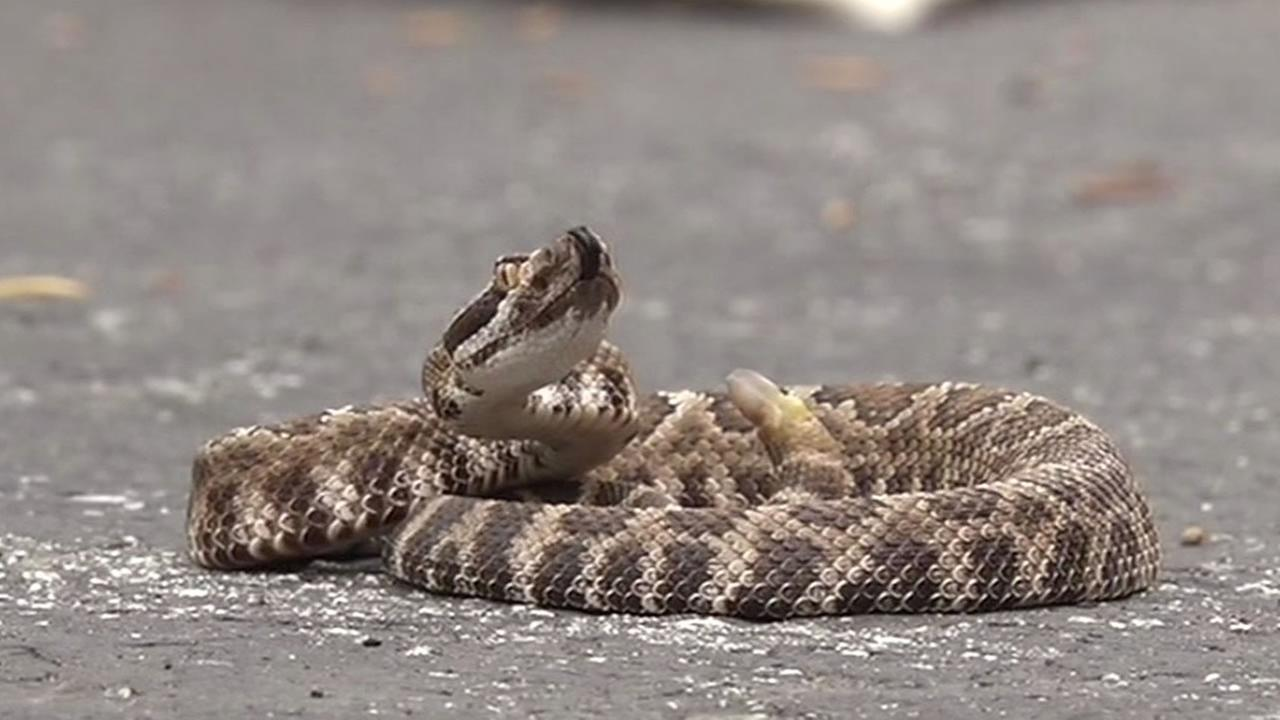 1-year-old rattle snake on a road