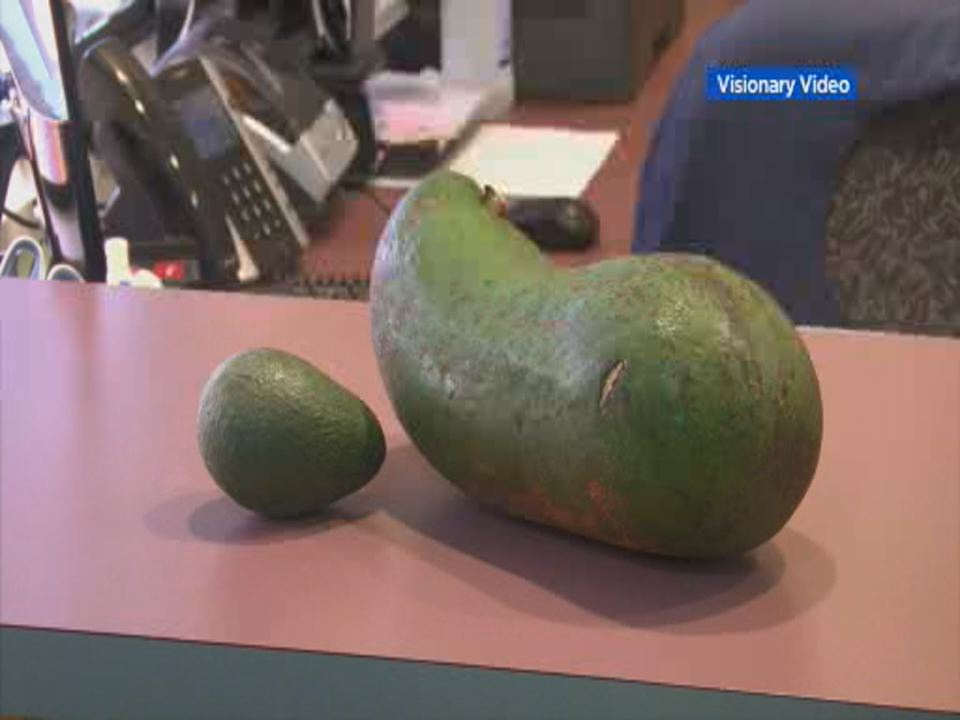 This undated image shows a 6-pound avocado grown by farmer in Hawaii next to an average 6-ounce avocado.