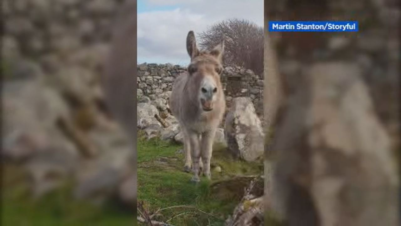 This image shows Harriet the singing donkey serenading a passerby in Galway, Ireland on Oct. 21.