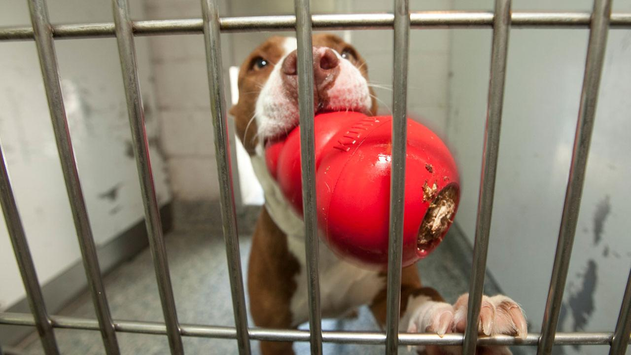 Pitbull in shelter