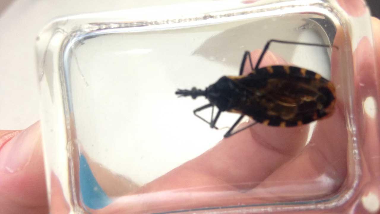 Chagas making a comeback.