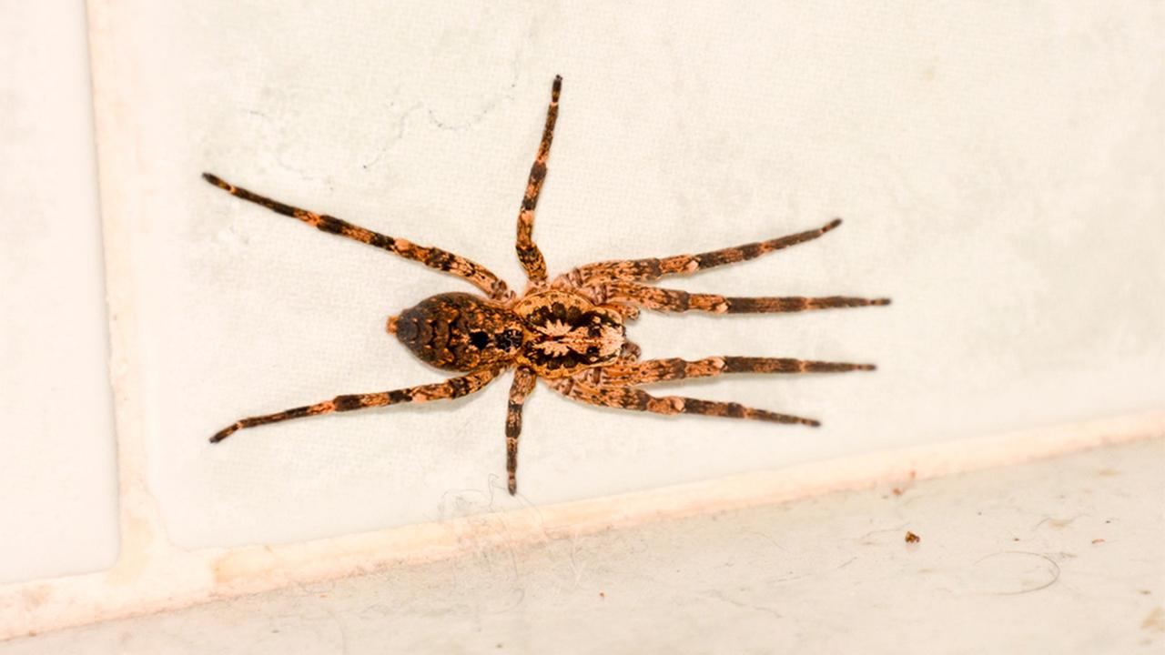 A brown spider on a wall