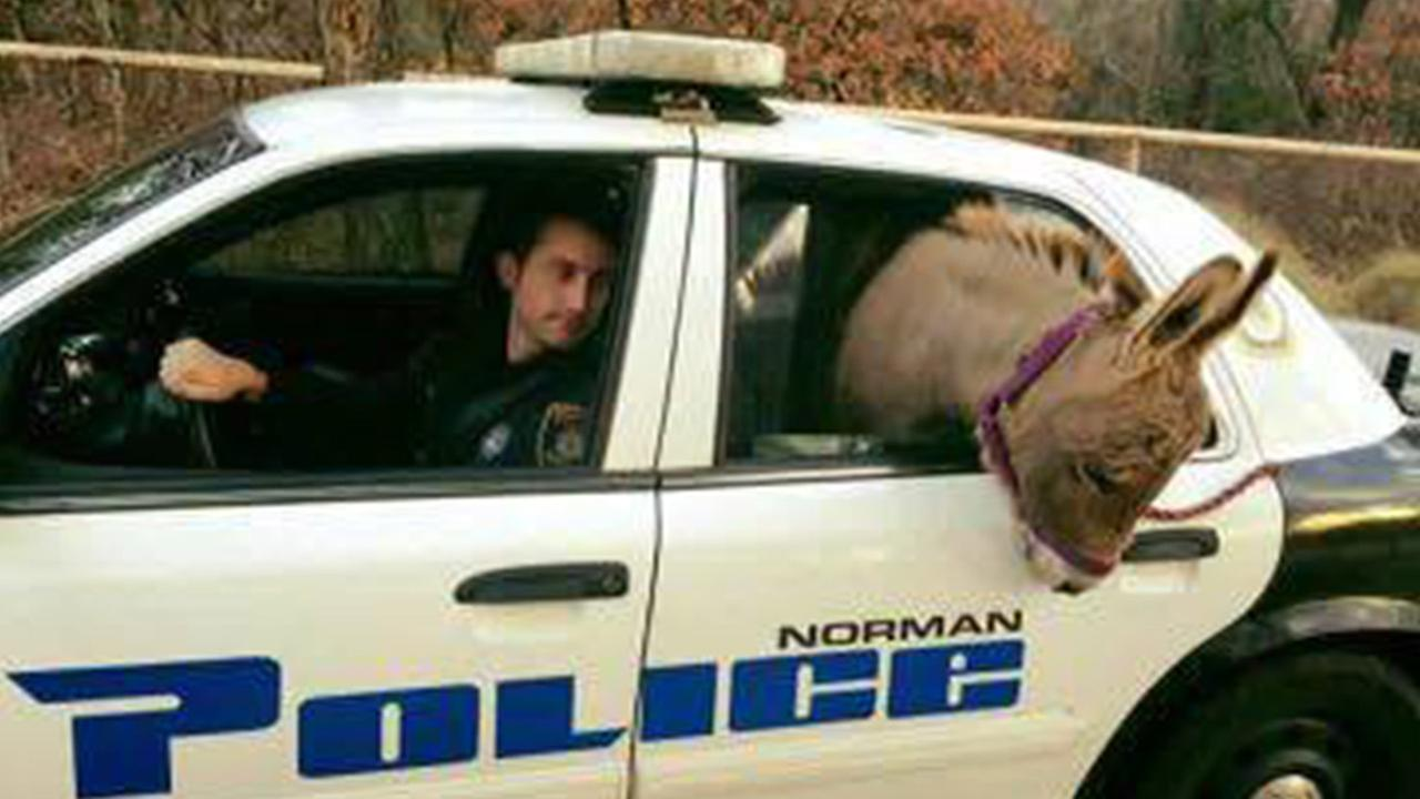 Escaped donkey in back of squad car