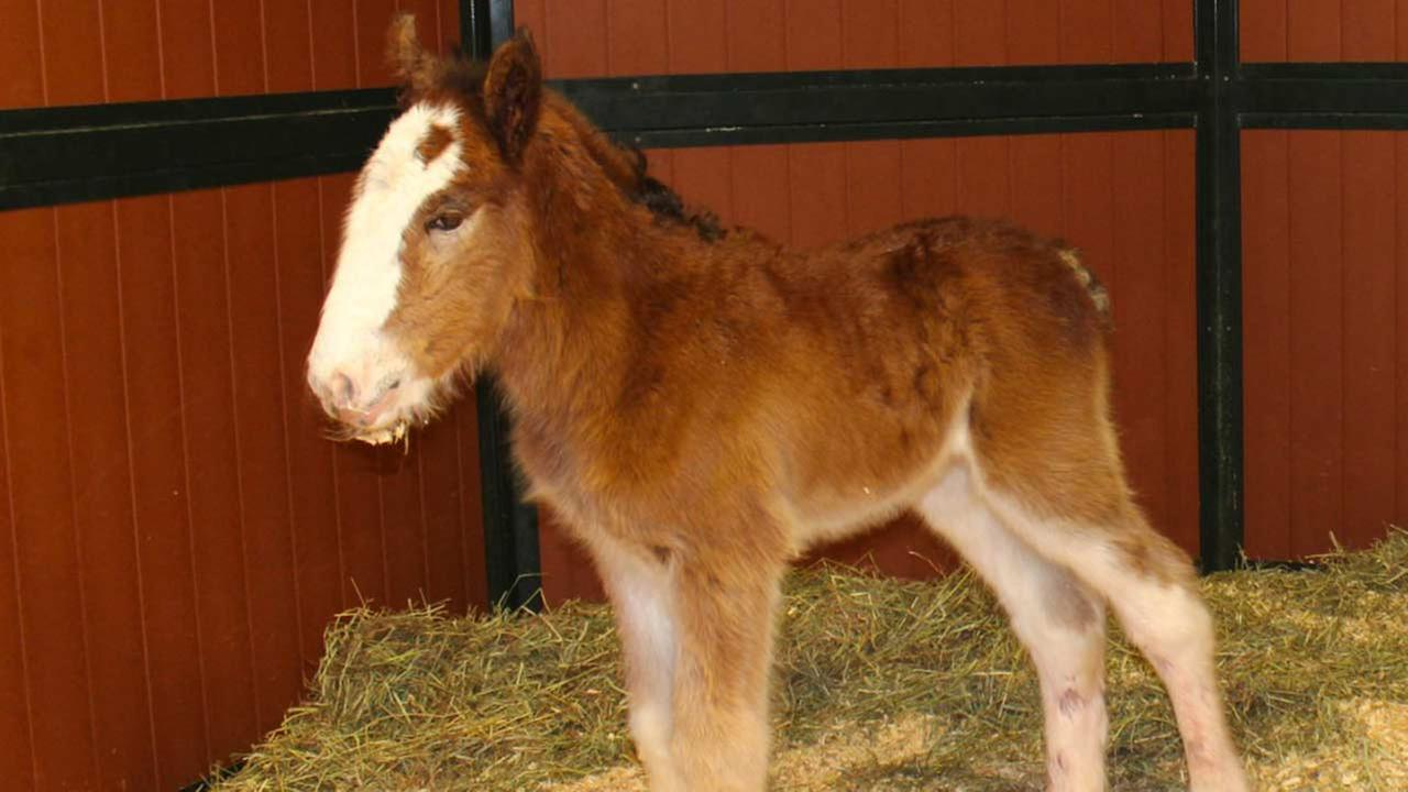 Say hello to Mac, the newest Budweiser Clydesdale