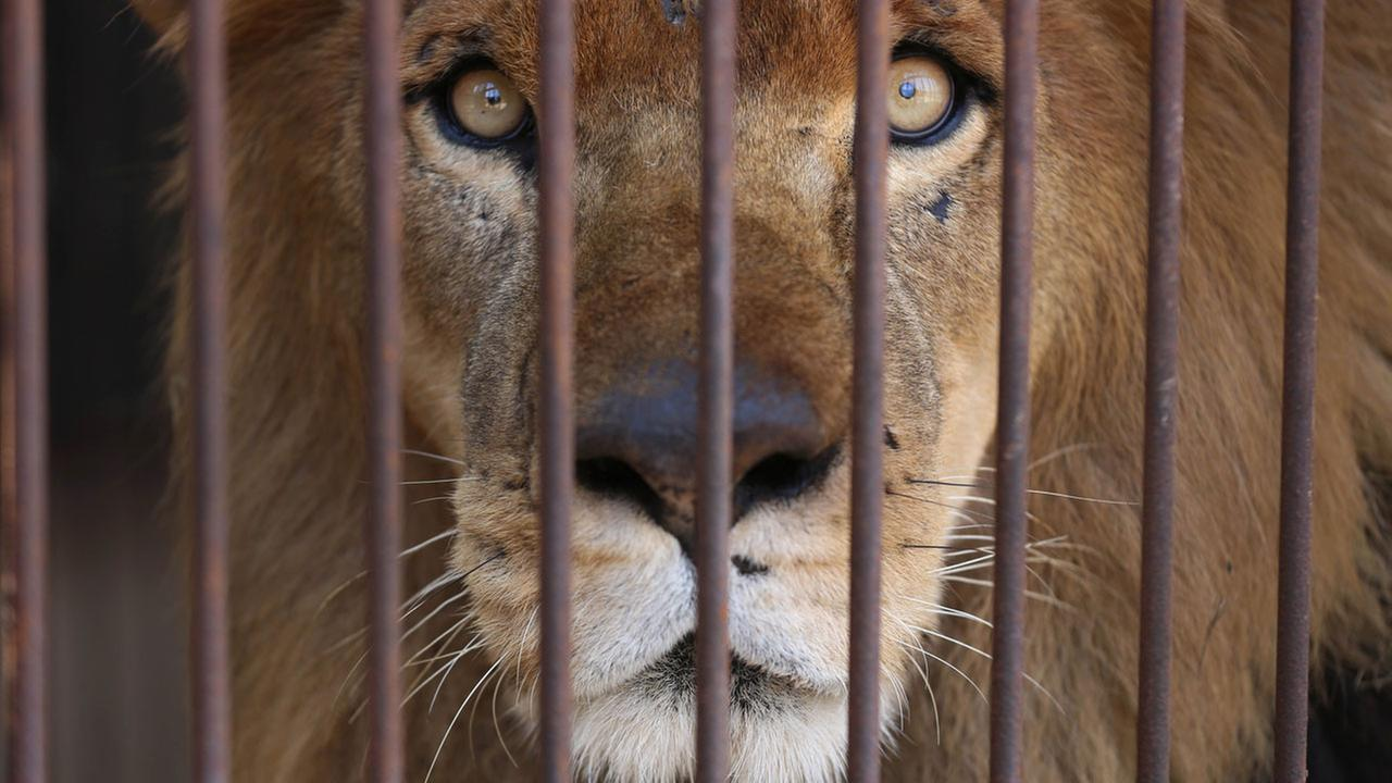 A former circus lion looks from inside his cage, in the outskirts of Lima, Peru, Tuesday, April 26, 2016.