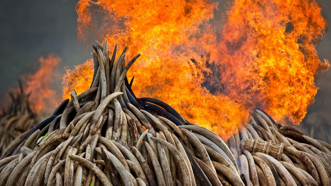 An ivory statue, right, lies on top of pyres of ivory as they are set on fire in Nairobi National Park, Kenya.