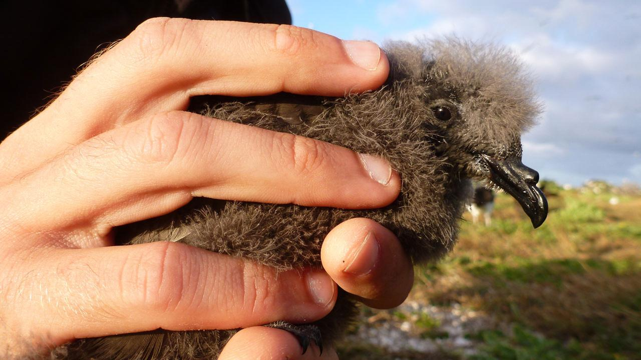 A researcher takes measurements on a Tristrams storm-petrel chick on Tern Island in Hawaiian Islands National Wildlife Refuge in 2012.