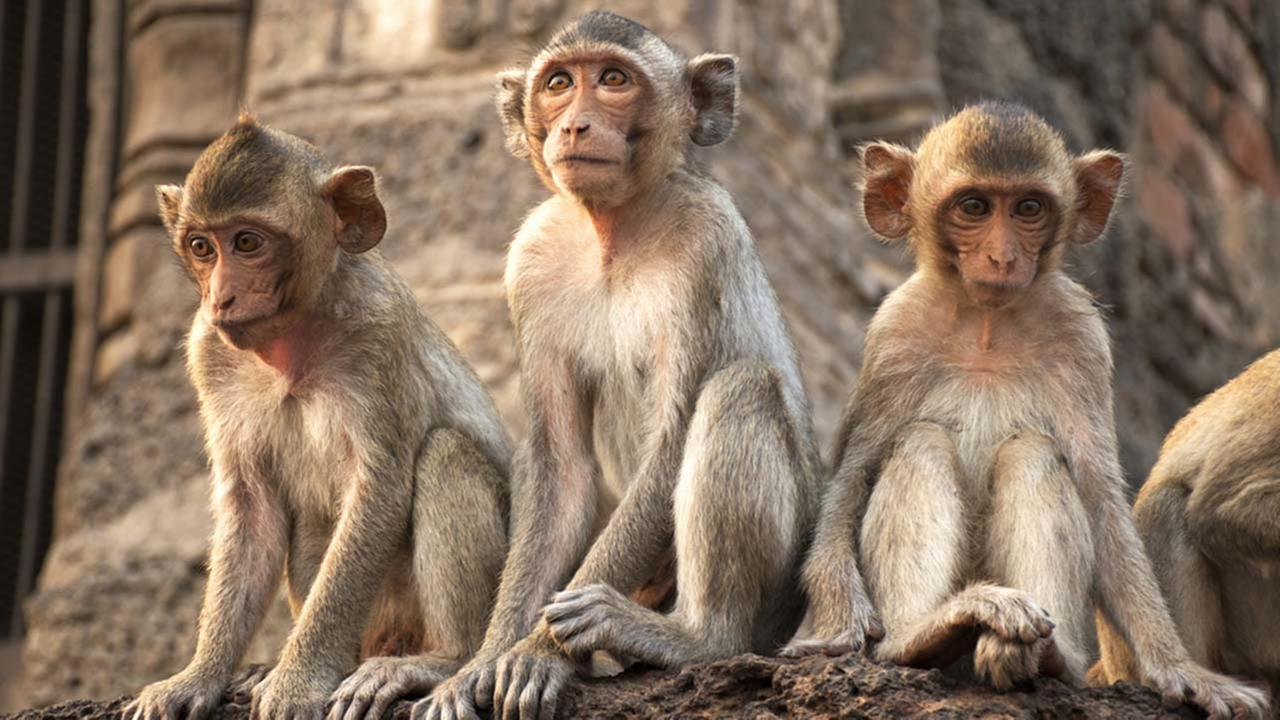 A stock image of monkeys