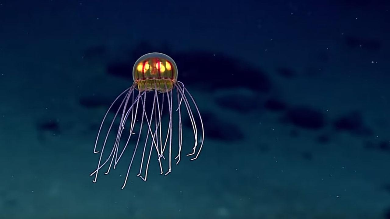 The yet-to-be-named jellyfish, as seen from the NOAA Ship Okeanos Explorer vehicle.