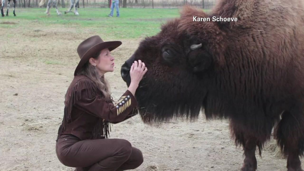 Couple buys house-broken buffalo on Craigslist ...