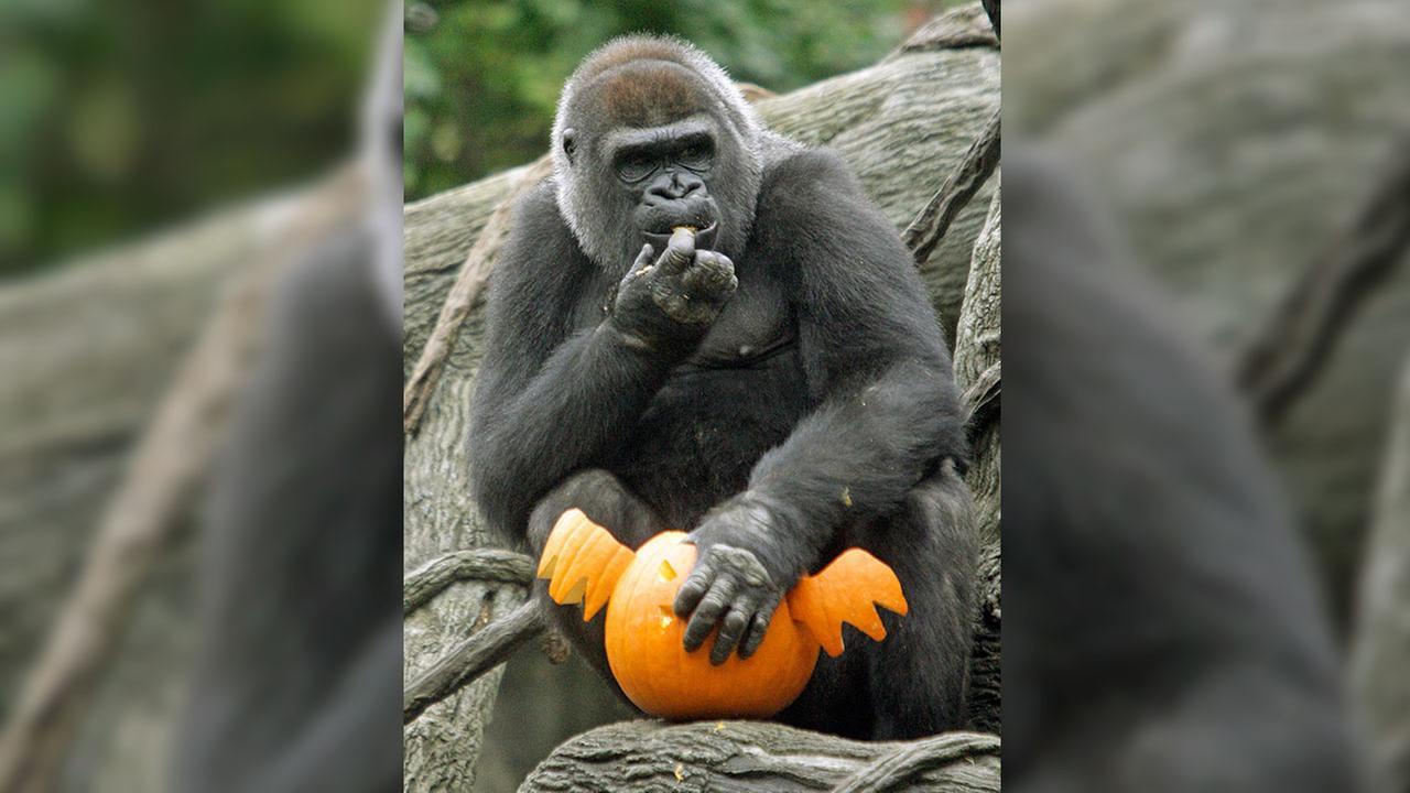 A gorilla eats treats from a pumpkin carved to resemble a bat, Thursday, Oct. 8, 2009, at the Cincinnati Zoo in Cincinnati.