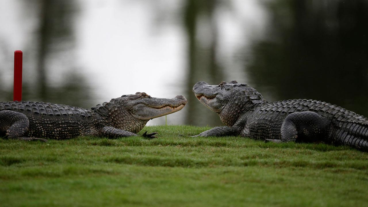 South Florida officers find 2 alligators eating human body