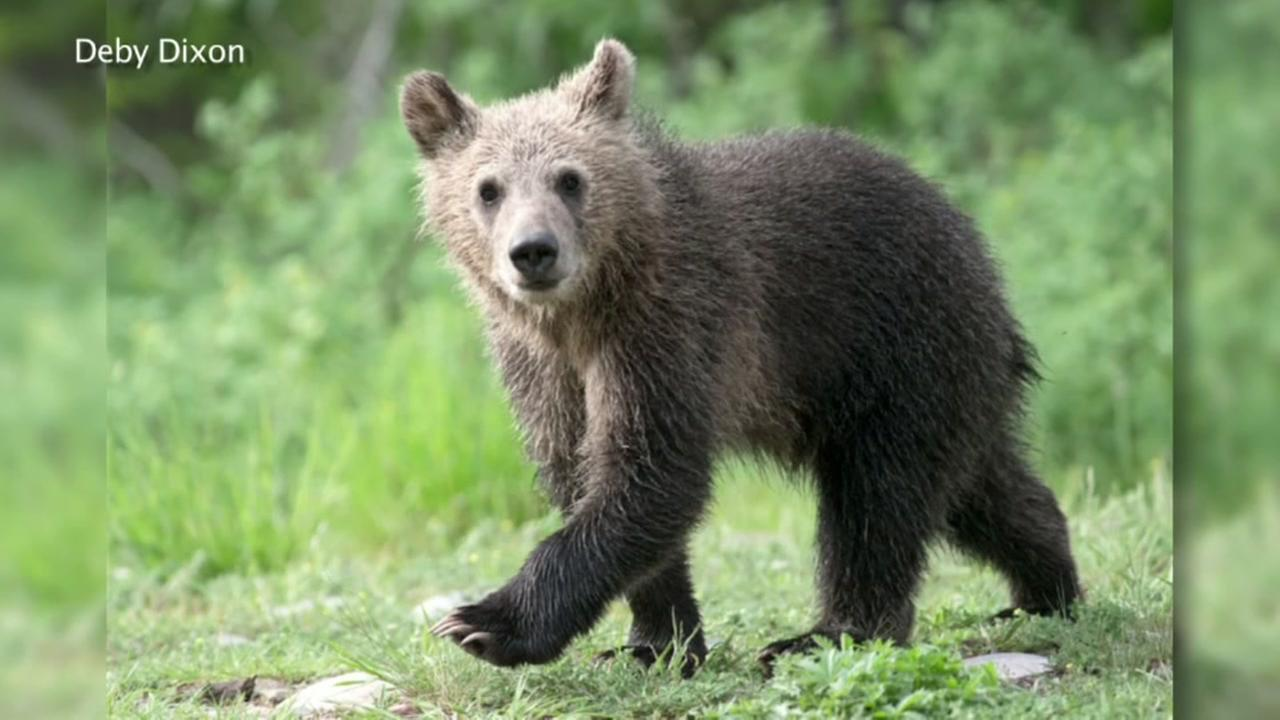 Snowy bear cub