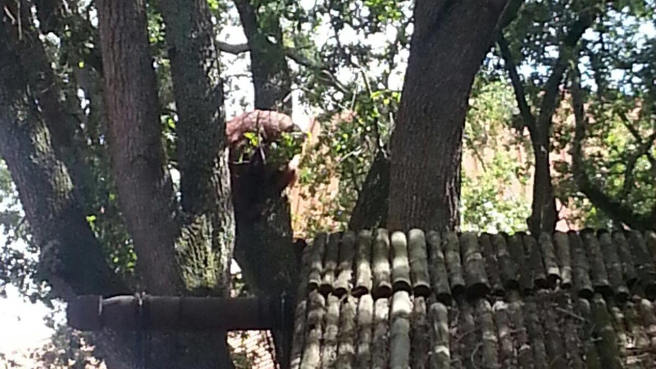 An orangutan escaped its enclosure Friday at Busch Gardens in Tampa