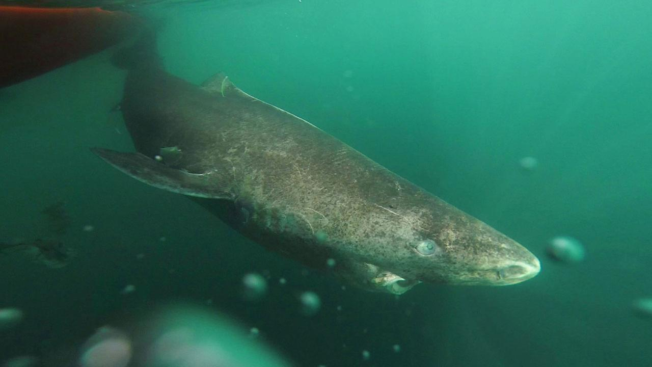 A Greenland swims slowly away from a boat, returning to the deep and cold waters of the Uummannaq Fjord in northwestern Greenland during tag -and- release research.