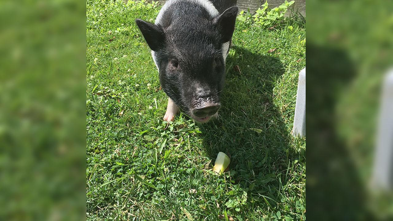 This June 26, 2016, file photo shows a Vietnamese potbellied pig named Charlotte walking in Katie Mannis backyard in Aliquippa, PA.