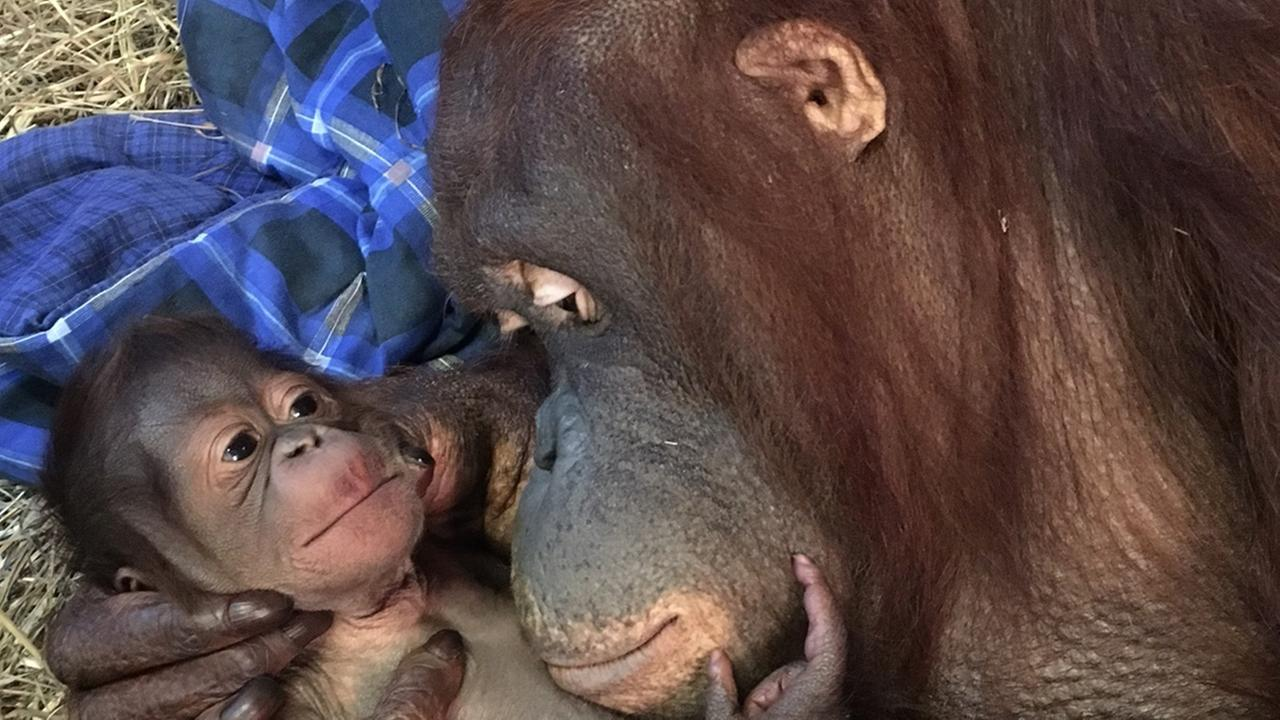 Batang and her infant in the Great Ape House are seen the Smithsonians National Zoo in Washington