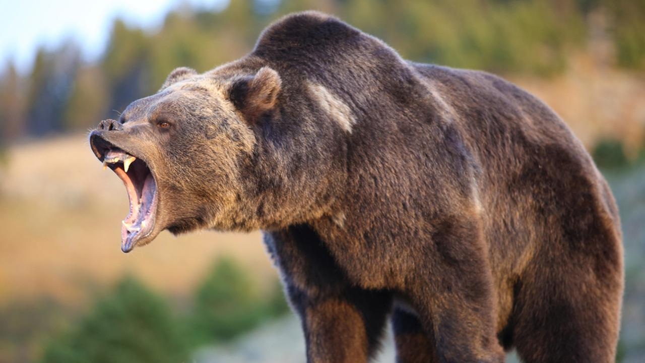 North American Brown Bear (grizzly) Growling, Dennis W Donohue