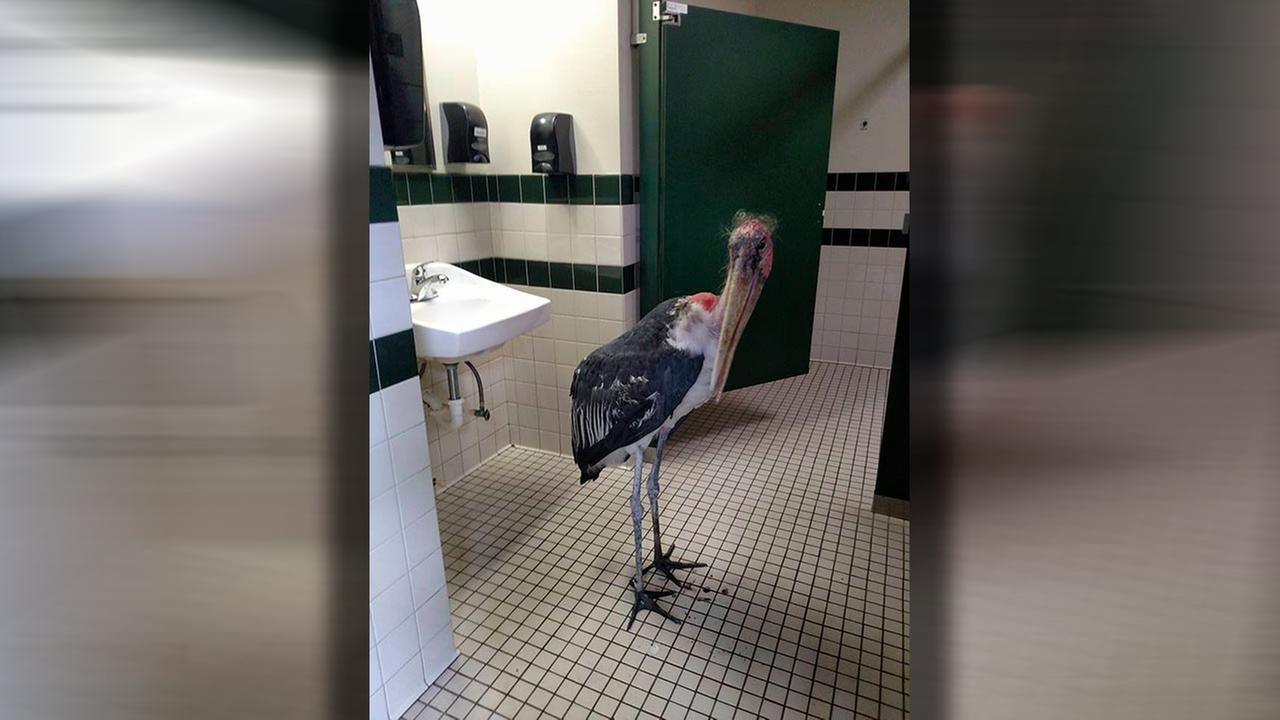 This Oct. 6, 2016, photo provided by the St. Augustine Alligator Farm and Zoological Park shows a marabou stork in a restroom at the facility in St. Augustine, Fla.