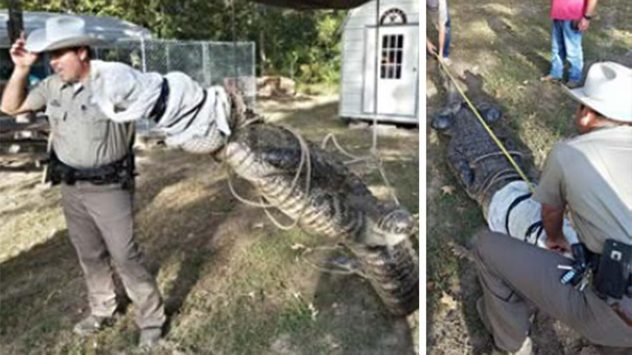 Massive gator hiding under travel trailer surprises homeowner