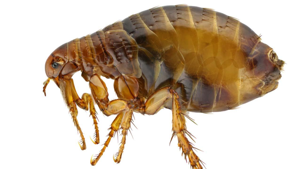 A stock image of a flea