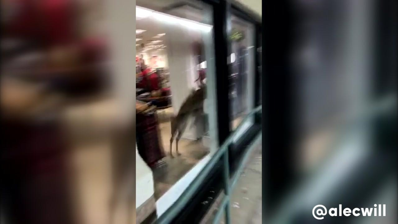 A deer smashes through a window in Oklahoma.
