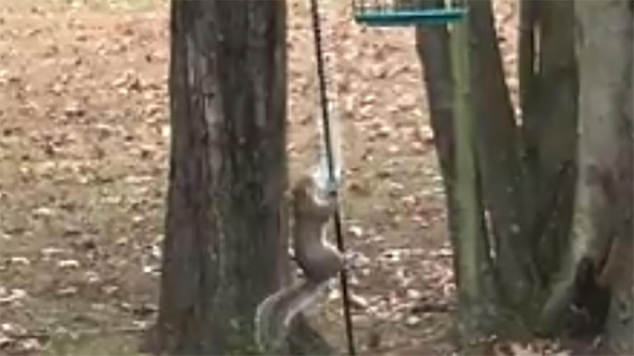 A Kentucky woman uses a Slinky to keep squirrels away from her bird feeder