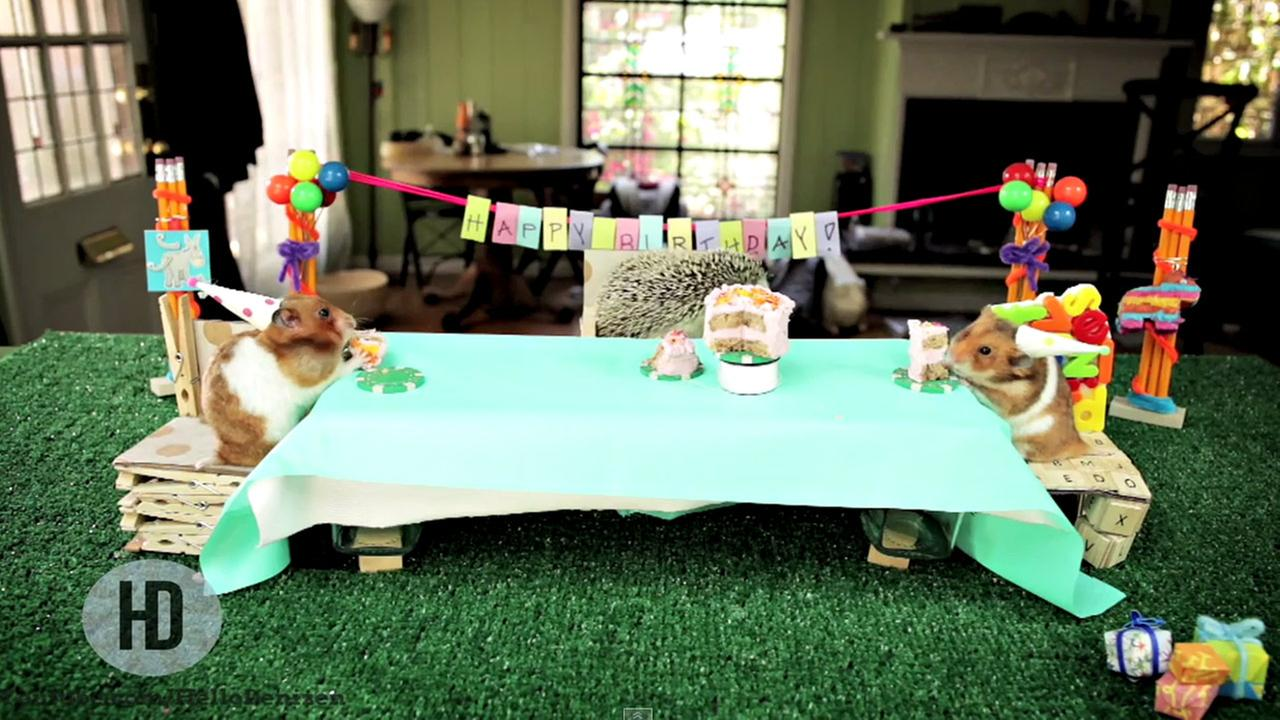 Viral Video Tiny Hamsters Hedgehog Gobble Up A Tiny Birthday Cake