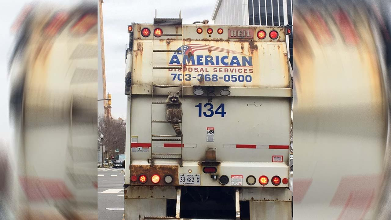 Photo of raccoon clinging to the back of a garbage truck goes viral