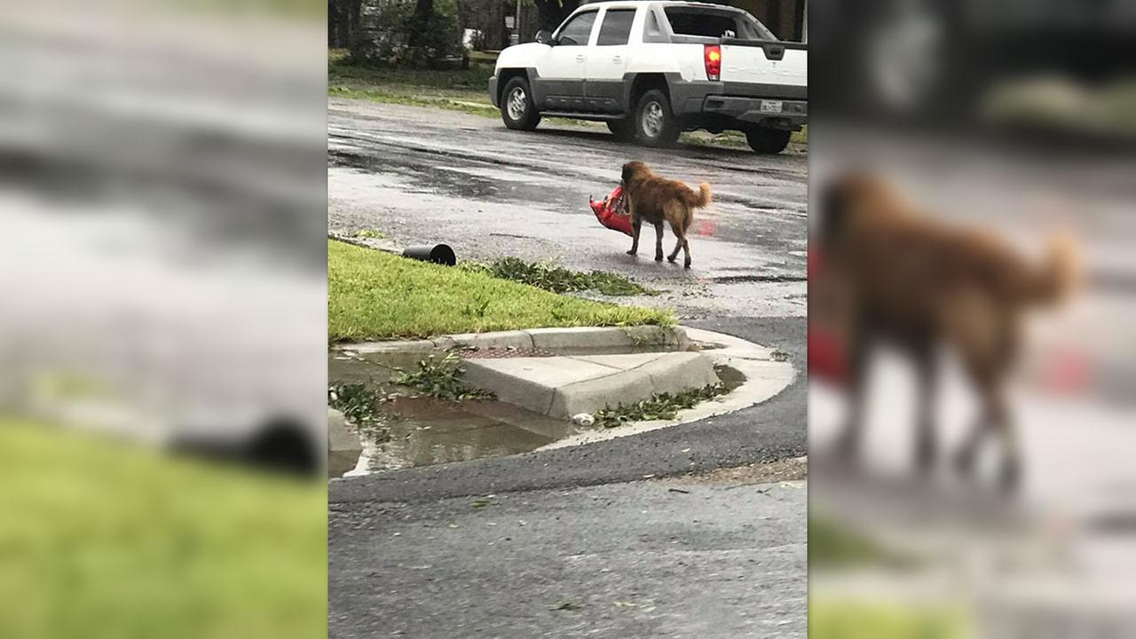 Lost dog carries his food in wake of Harvey