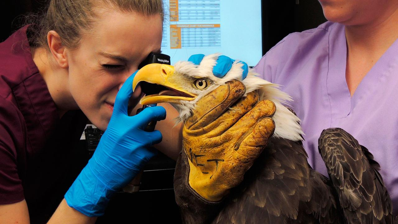 The Wildlife Center of Virginia staff members attend to an injured bald eagle, known as HK, at their facility in Waynesboro, Va., on Friday, Sept. 1, 2017.